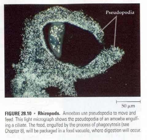 A close-up of how amoeba acquire nutrients