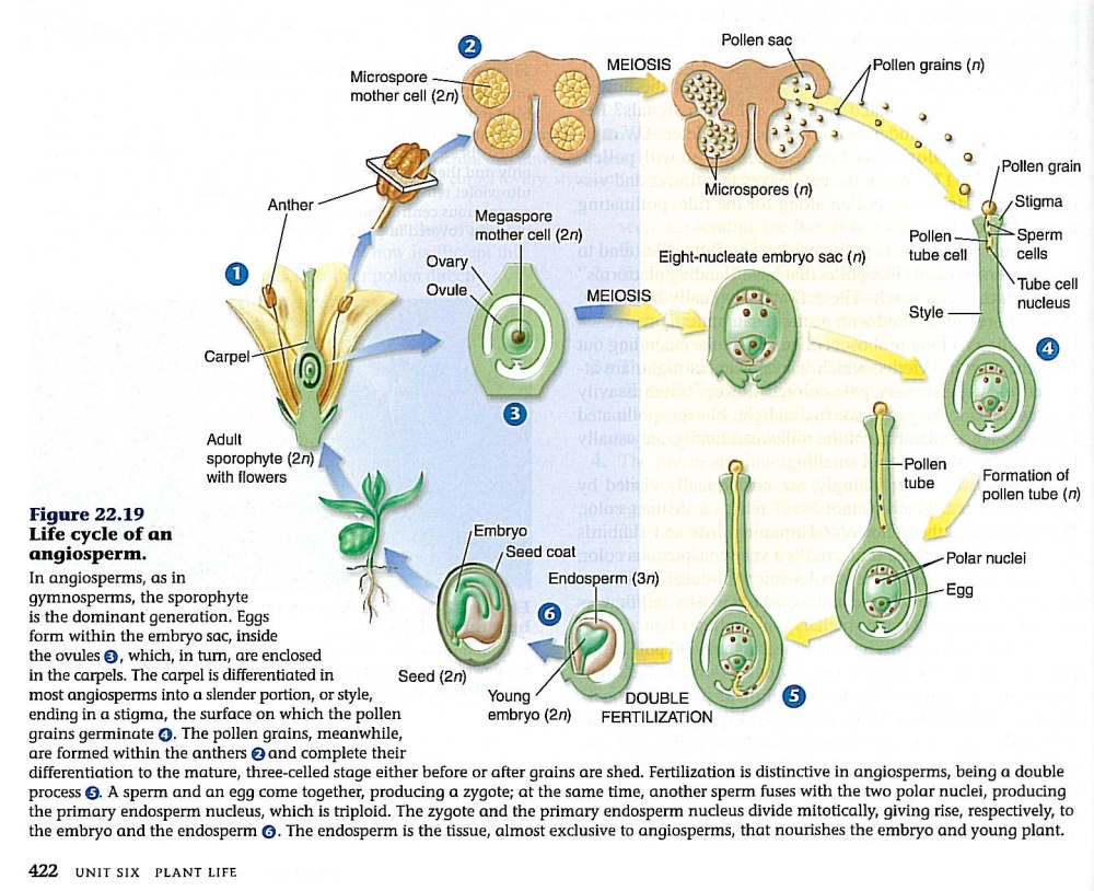 L15images life cycle of angiosperm pooptronica